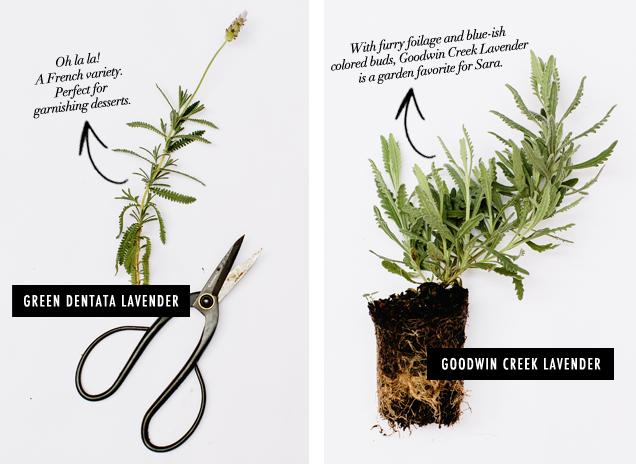 G&F_Herb Field Guide_Lavender