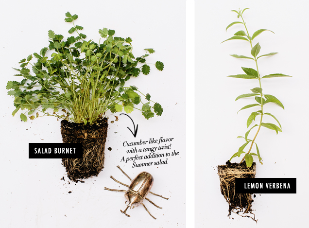 G&F_Herb Field Guide_Salad Burnet Lemon Verbena