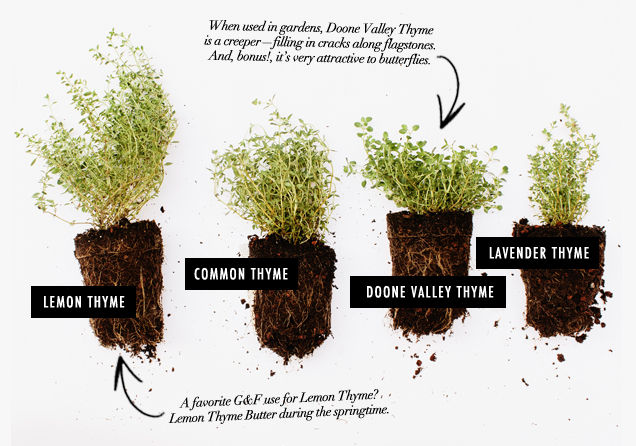G&F_Herb Field Guide_Thyme